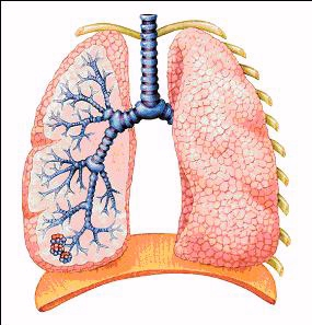 Lung cross section diagram electrical work wiring diagram lung cross section diagram images gallery ccuart Image collections
